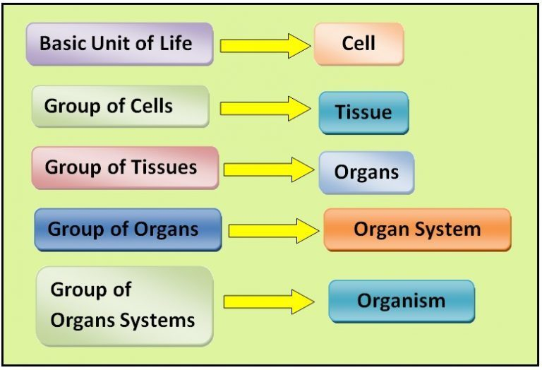 Organs in Multi-cellular Organisms – Grade 7 Science Worksheets