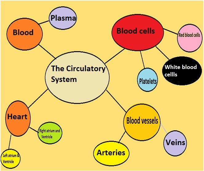 Immune , Circulatory and Digestive Systems – Grade 7 Science Worksheets